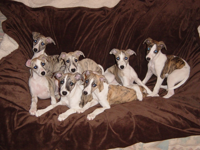 Whippet_puppies.jpg